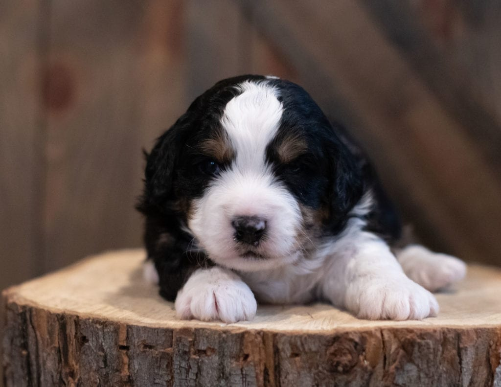 """Saber is an F1 Bernedoodle that will be hypoallergenic. Read more about what a dog being hypoallergenic means on our latest blog post, """"The New Breed Everyone Seems to Want"""""""