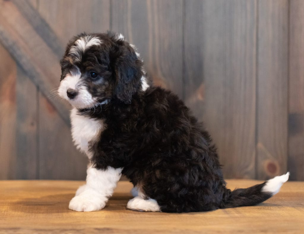Sky is an F1 Bernedoodle that should have  and is currently living in Washington