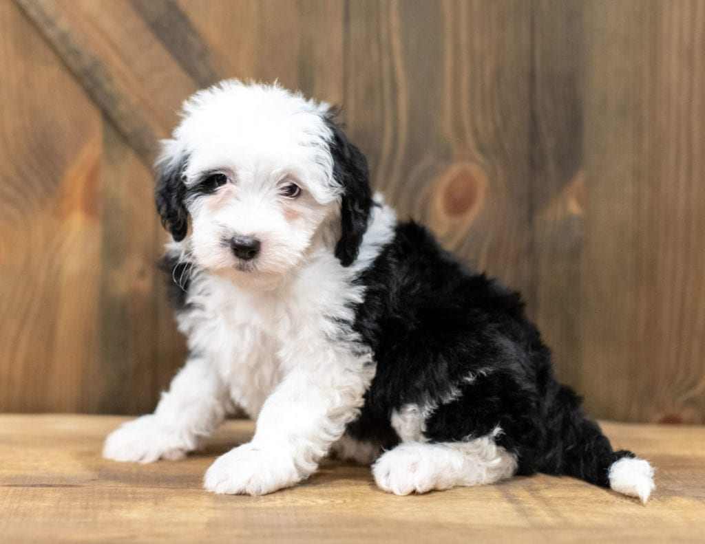 """Odila is an F1 Sheepadoodle that will be hypoallergenic. Read more about what a dog being hypoallergenic means on our latest blog post, """"The New Breed Everyone Seems to Want"""""""