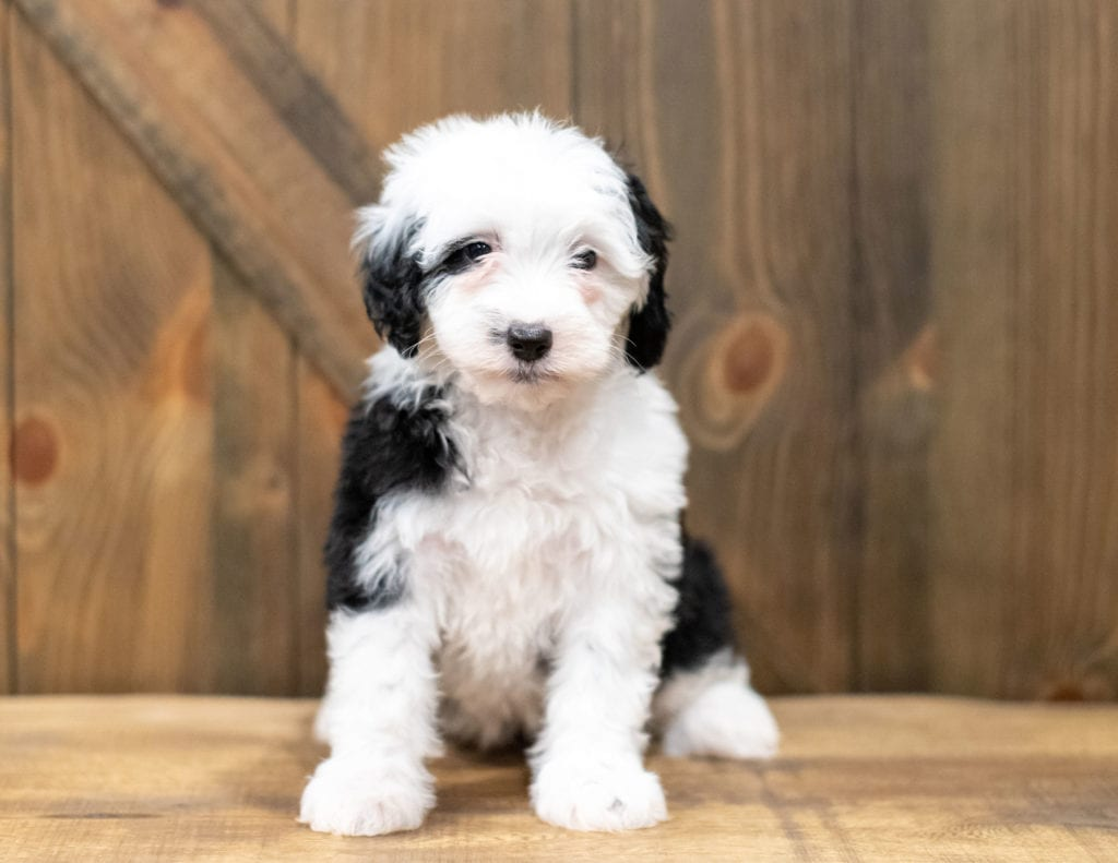 A picture of a Odila, one of our Mini Sheepadoodles for sale