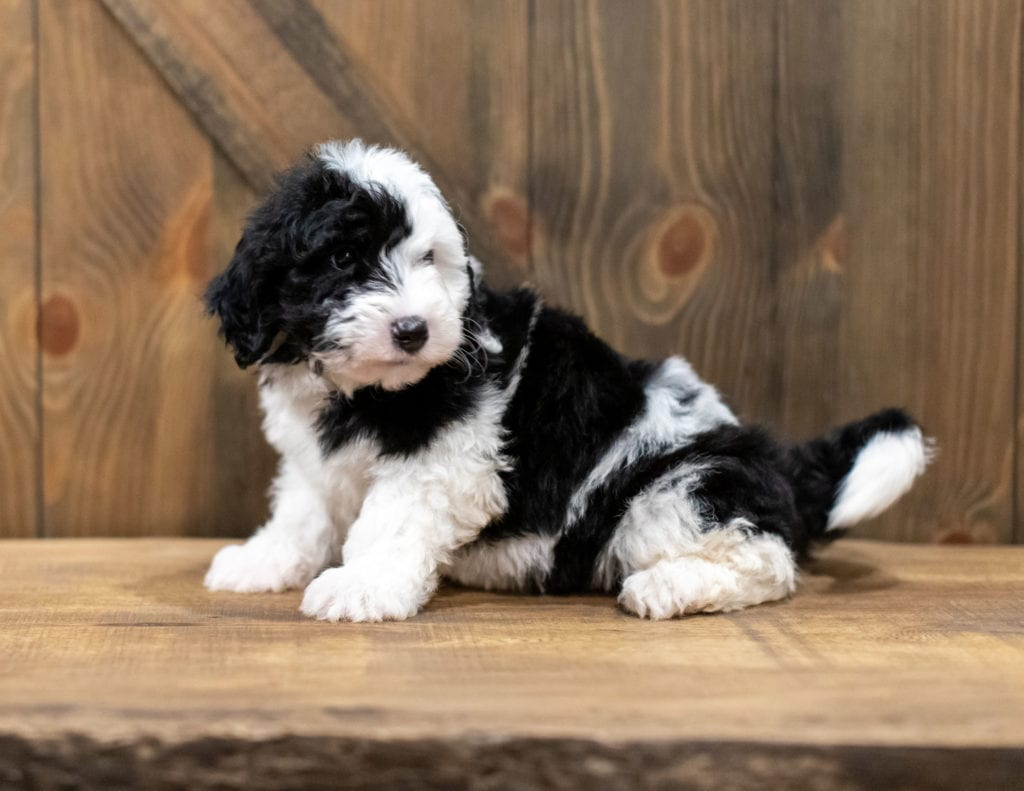A picture of a Ohio, one of our Mini Sheepadoodles puppies