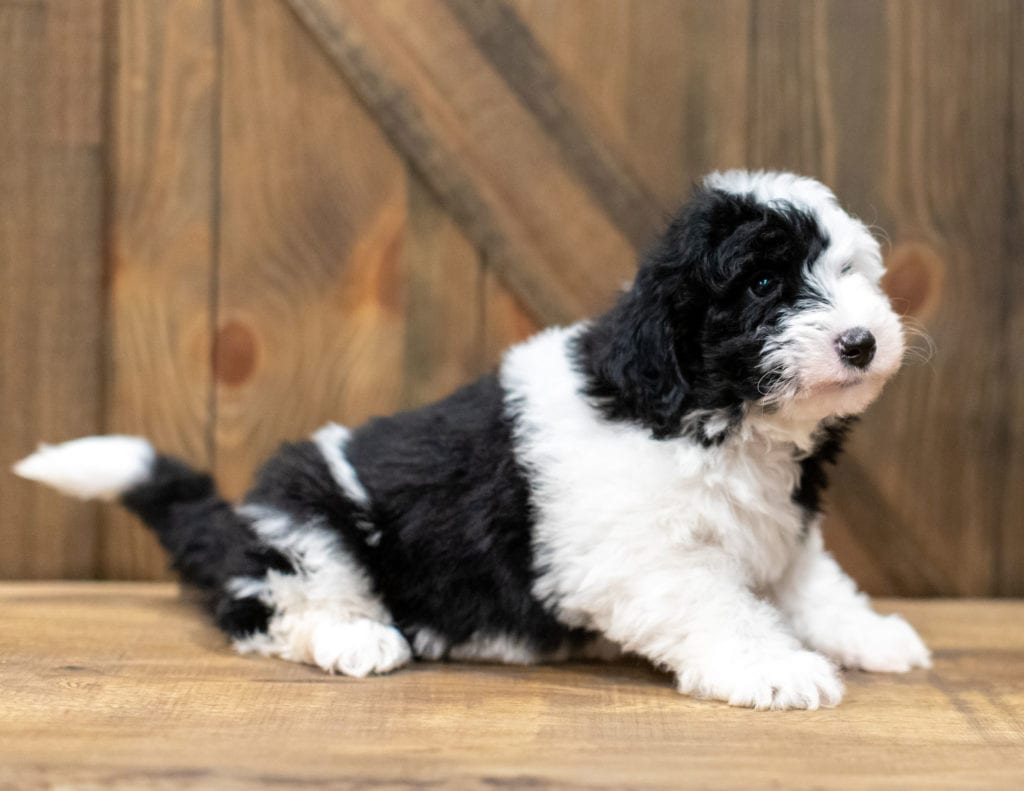 Ohio came from Tuxxy and River's litter of F1 Sheepadoodles