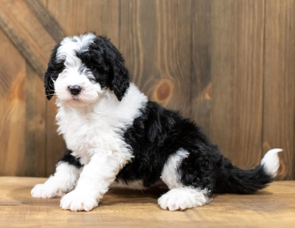 A picture of a Olek, one of our Mini Sheepadoodles puppies that went to their home in New York