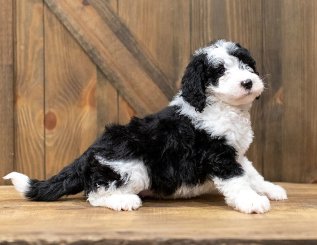 Olek is an F1 Sheepadoodle that should have  and is currently living in New York