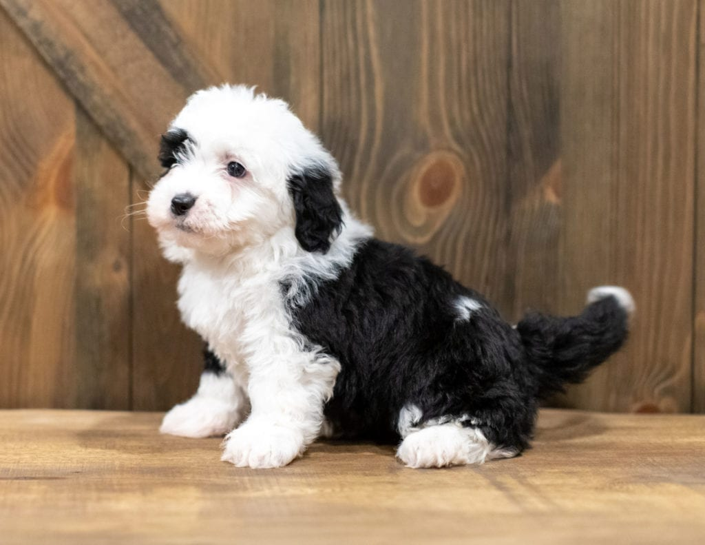 Oliva is an F1 Sheepadoodle.