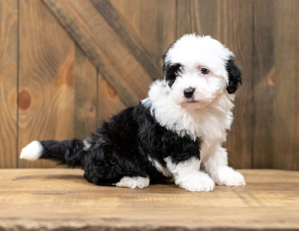 A picture of a Oliva, one of our Mini Sheepadoodles puppies