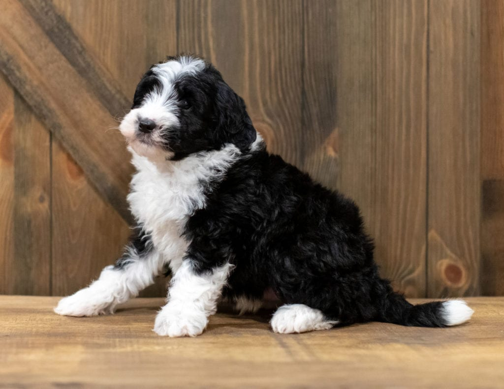 Olsen is an F1 Sheepadoodle that should have  and is currently living in New Jersey
