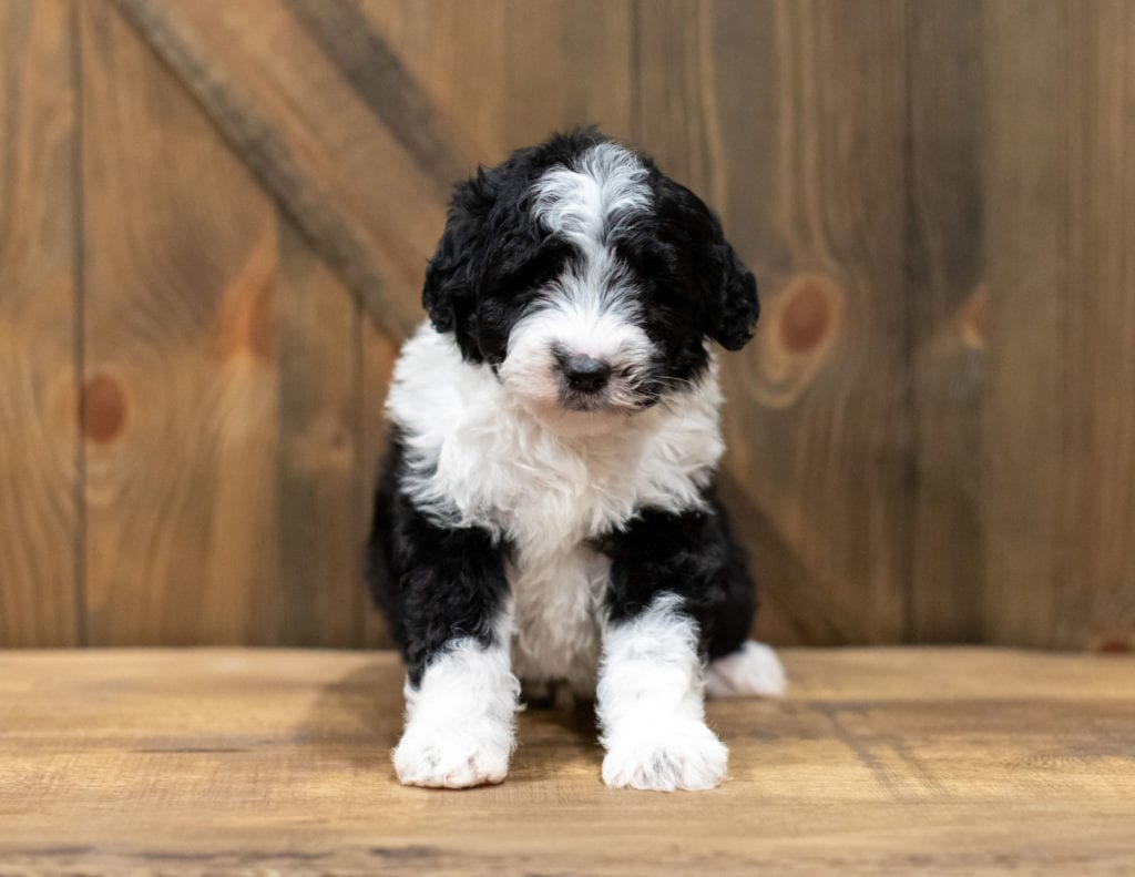 A picture of a Olsen, one of our Mini Sheepadoodles puppies that went to their home in New Jersey