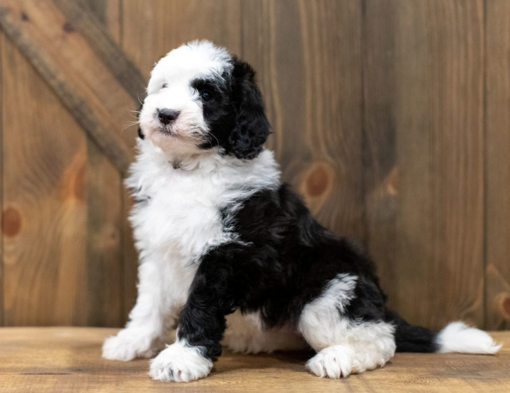 Omer is an F1 Sheepadoodle that should have  and is currently living in Minnesota