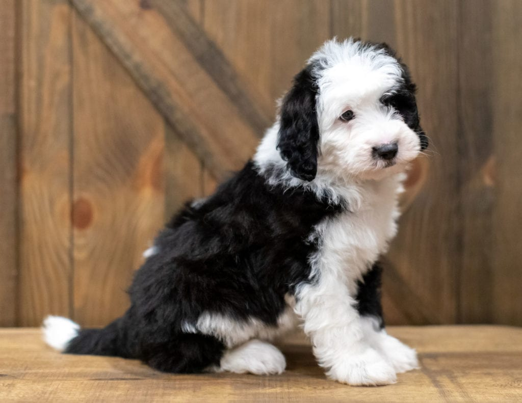 A picture of a Omer, one of our Mini Sheepadoodles puppies that went to their home in Minnesota