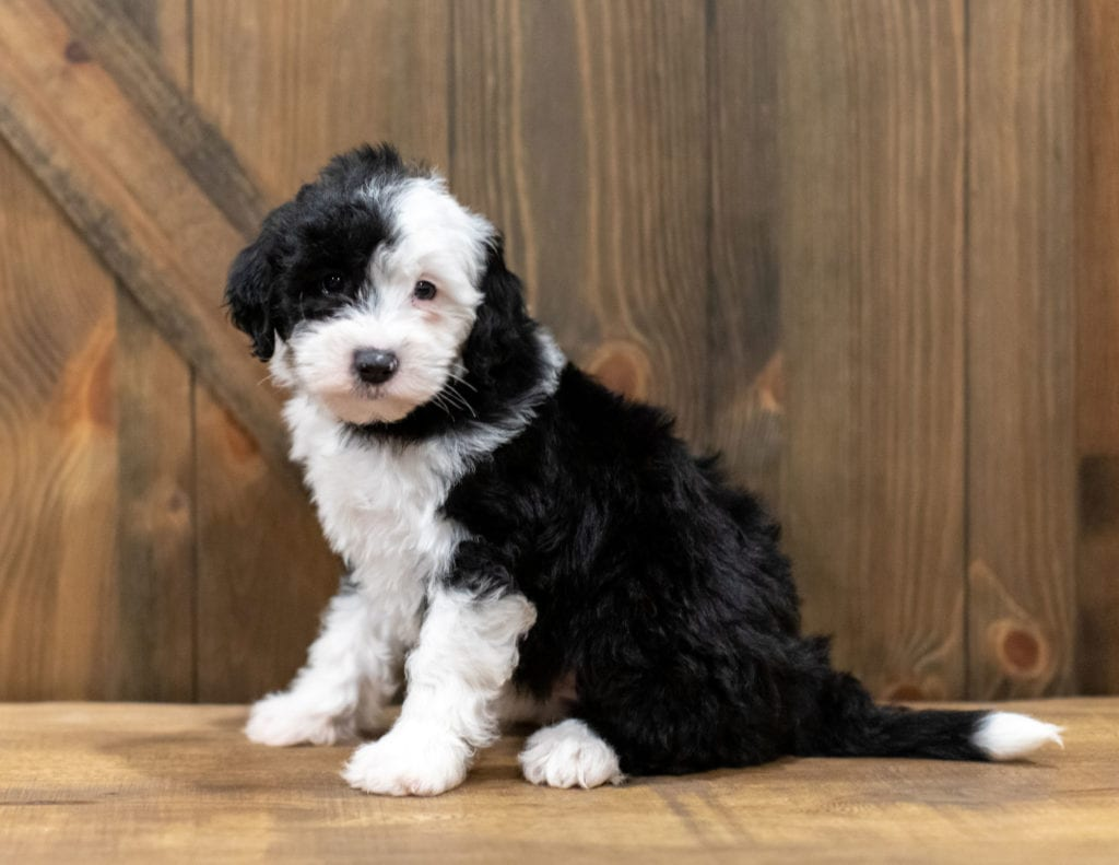 Onyx is an F1 Sheepadoodle.