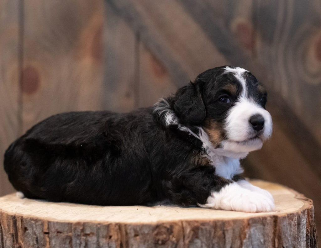 """Sam is an F1 Bernedoodle that will be hypoallergenic. Read more about what a dog being hypoallergenic means on our latest blog post, """"The New Breed Everyone Seems to Want"""""""