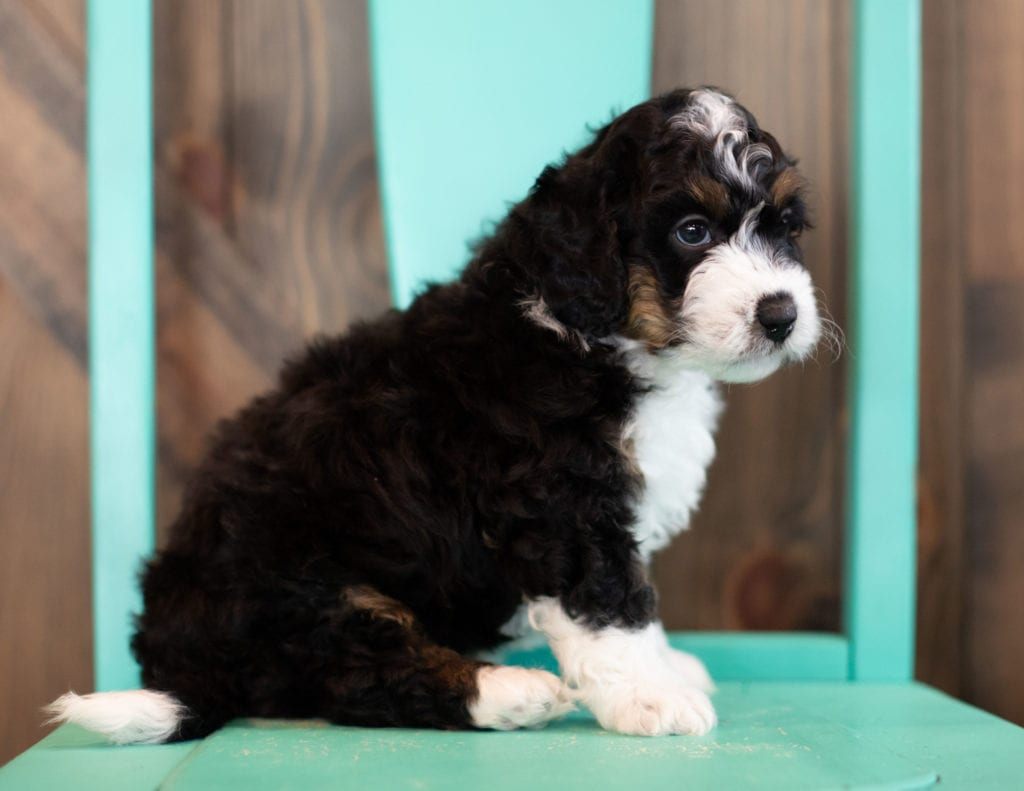"Sam is an F1 Bernedoodle that will be hypoallergenic. Read more about what a dog being hypoallergenic means on our latest blog post, ""The New Breed Everyone Seems to Want"""