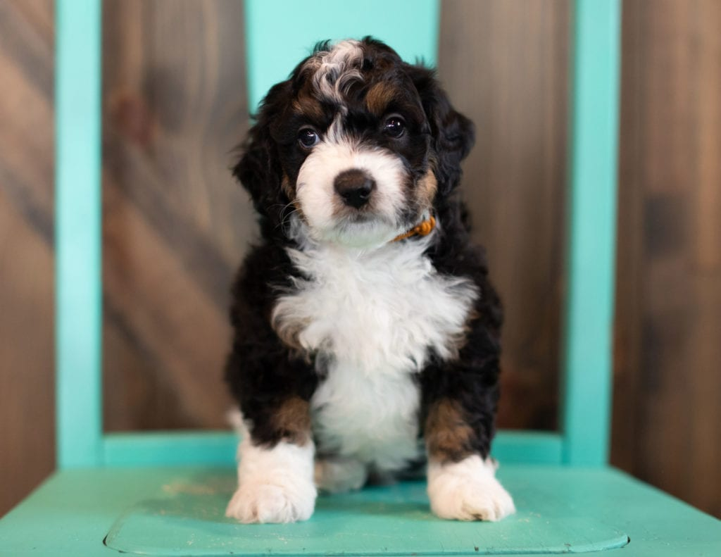 A picture of a Sam, one of our Mini Bernedoodles puppies
