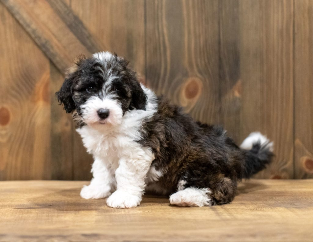 Orsa came from Tuxxy and River's litter of F1 Sheepadoodles