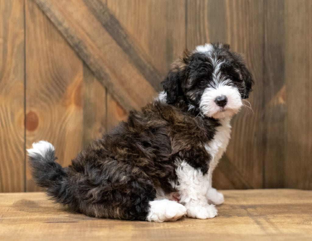 Orsa is an F1 Sheepadoodle that should have  and is currently living in Pennsylvania
