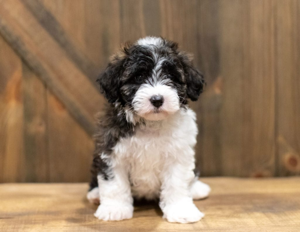 A picture of a Orsa, one of our Mini Sheepadoodles puppies that went to their home in Pennsylvania