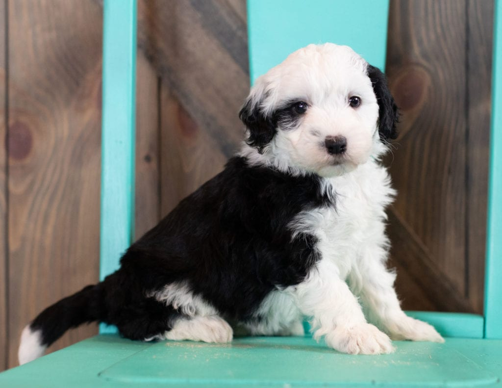 Odila came from Tuxxy and River's litter of F1 Sheepadoodles