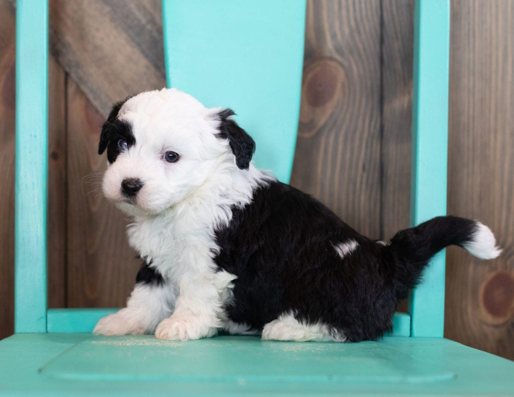 Oliva came from Tuxxy and River's litter of F1 Sheepadoodles