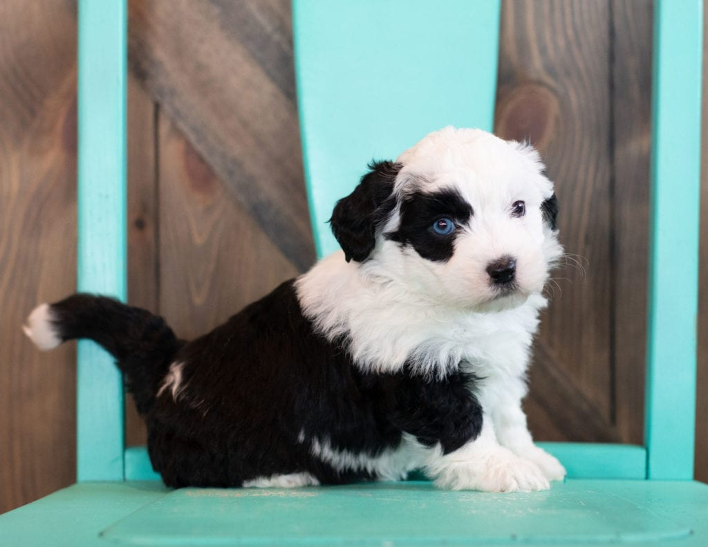 """Oliva is an F1 Sheepadoodle that will be hypoallergenic. Read more about what a dog being hypoallergenic means on our latest blog post, """"The New Breed Everyone Seems to Want"""""""