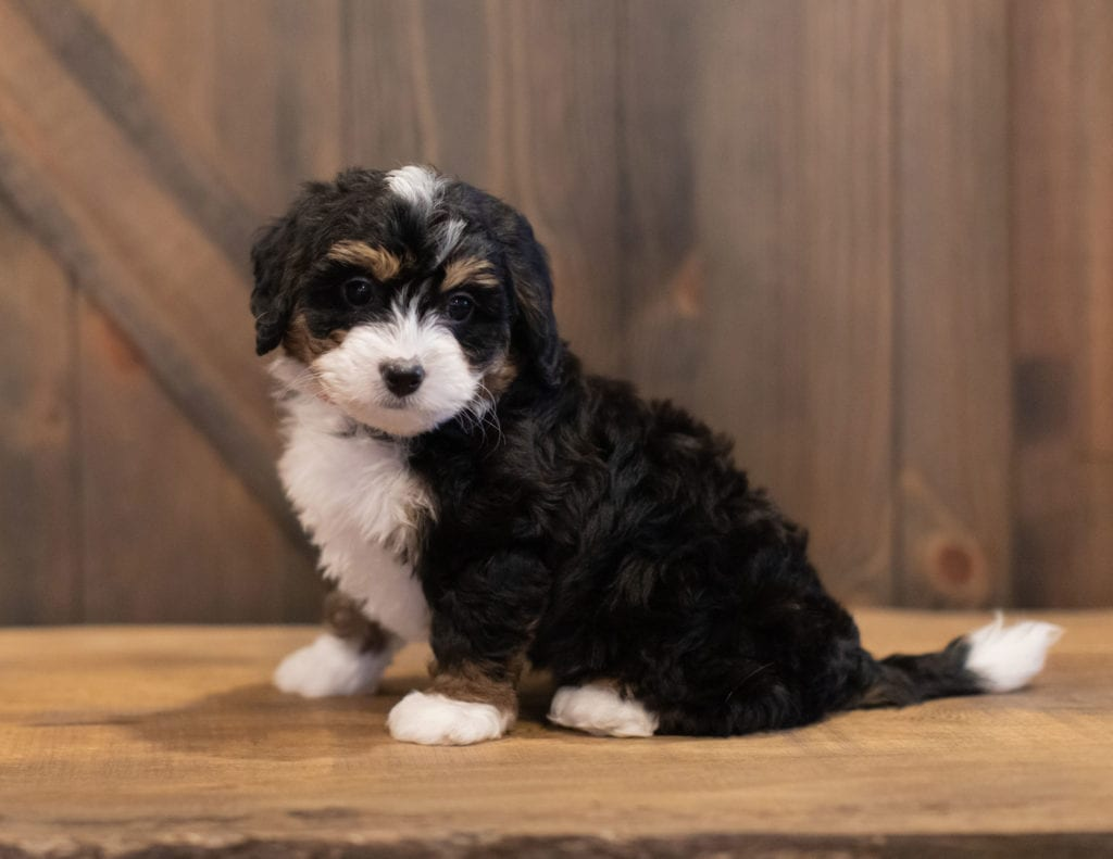 Sage came from Tori and Stanley's litter of F1 Bernedoodles