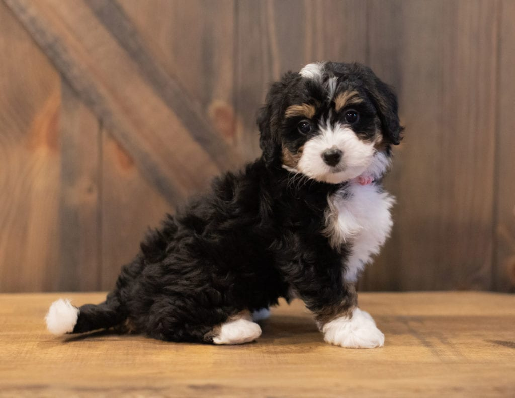 Sage is an F1 Bernedoodle that should have  and is currently living in Wisconsin