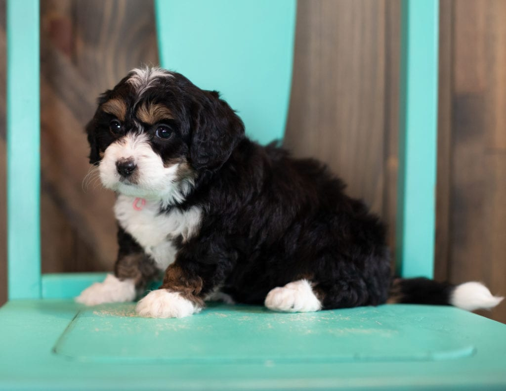 "Sage is an F1 Bernedoodle that will be hypoallergenic. Read more about what a dog being hypoallergenic means on our latest blog post, ""The New Breed Everyone Seems to Want"""