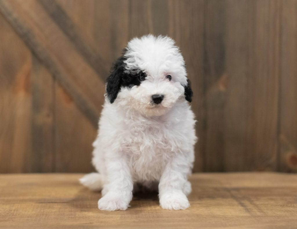 Ruby is an F1B Sheepadoodle that should have  and is currently living in Washington