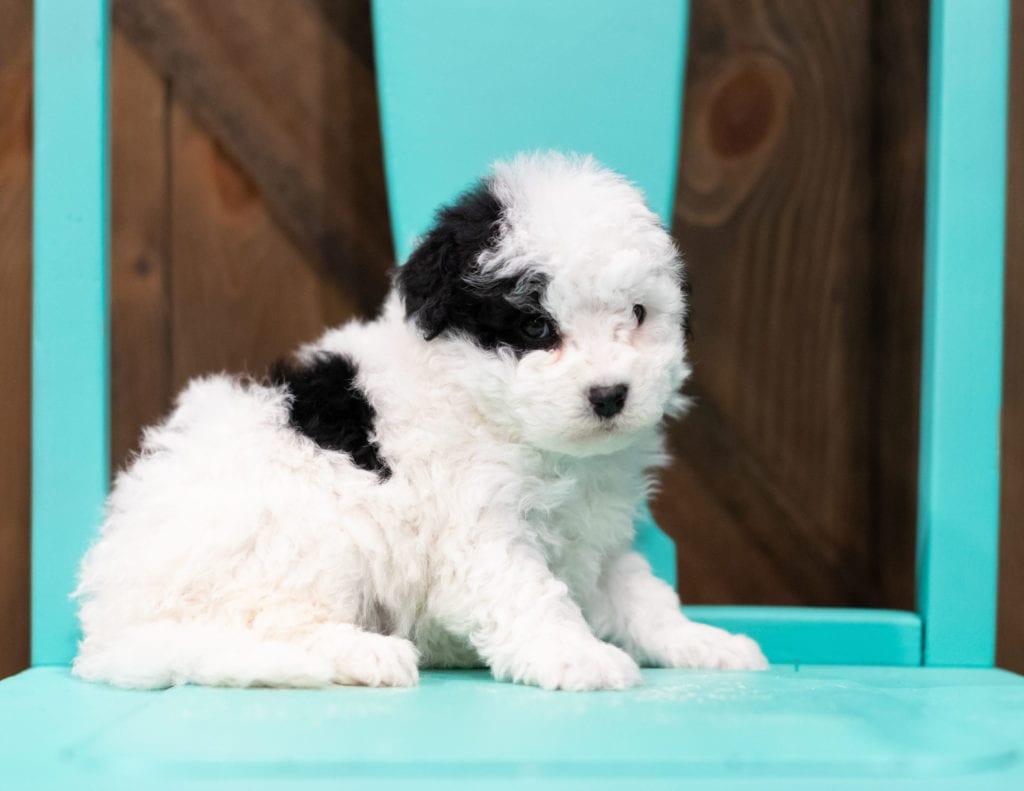 "Ruby is an F1B Sheepadoodle that will be hypoallergenic. Read more about what a dog being hypoallergenic means on our latest blog post, ""The New Breed Everyone Seems to Want"""