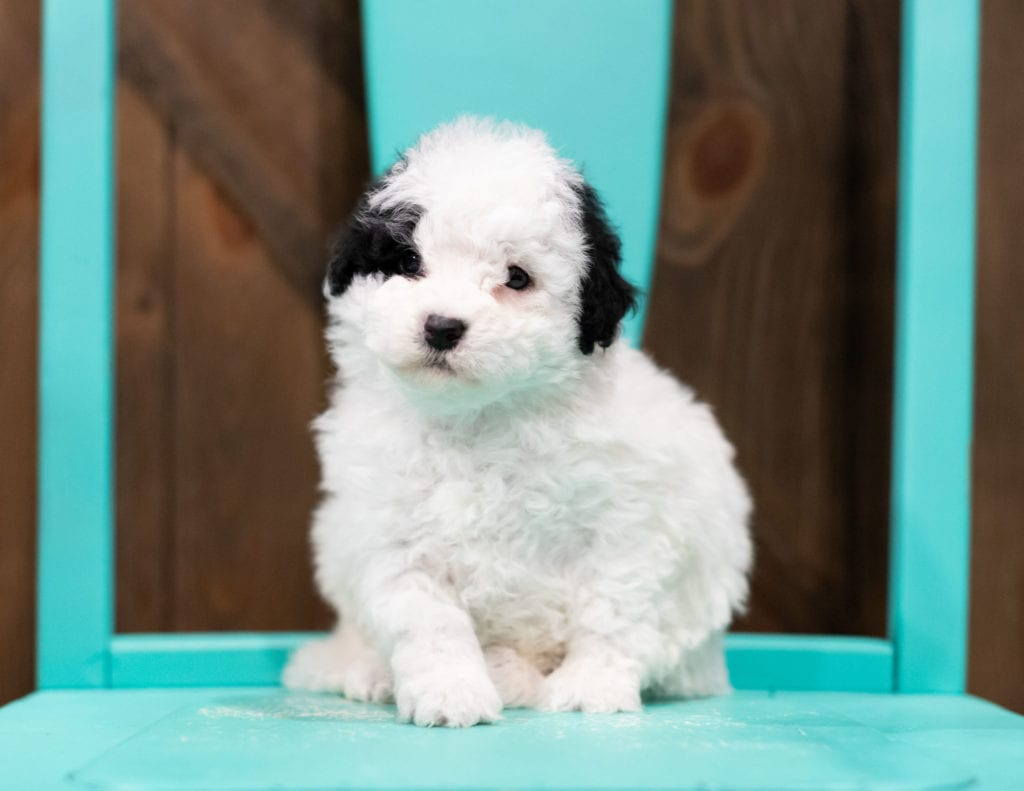 A picture of a Ruby, one of our Petite Sheepadoodles puppies