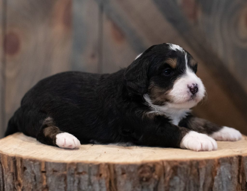 A picture of a Sage, one of our Mini Bernedoodles puppies