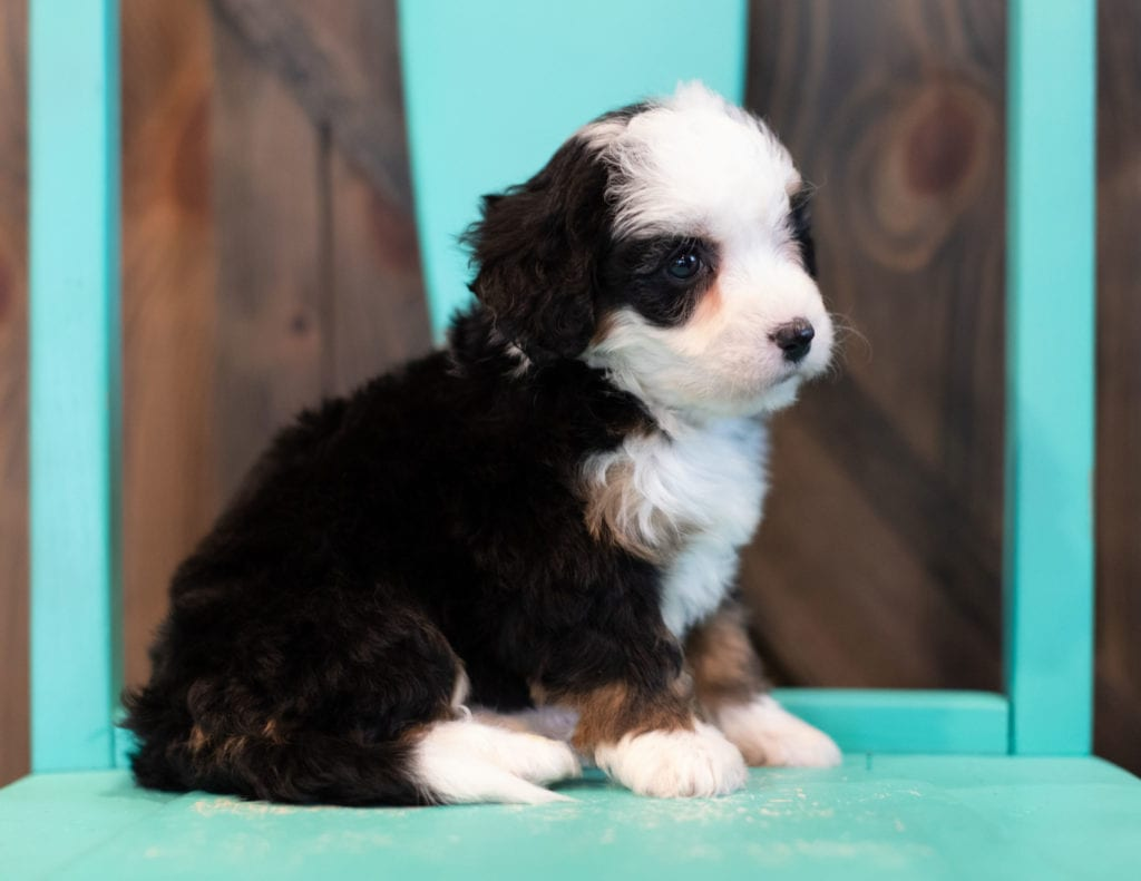 "Qudira is an F1 Bernedoodle that will be hypoallergenic. Read more about what a dog being hypoallergenic means on our latest blog post, ""The New Breed Everyone Seems to Want"""