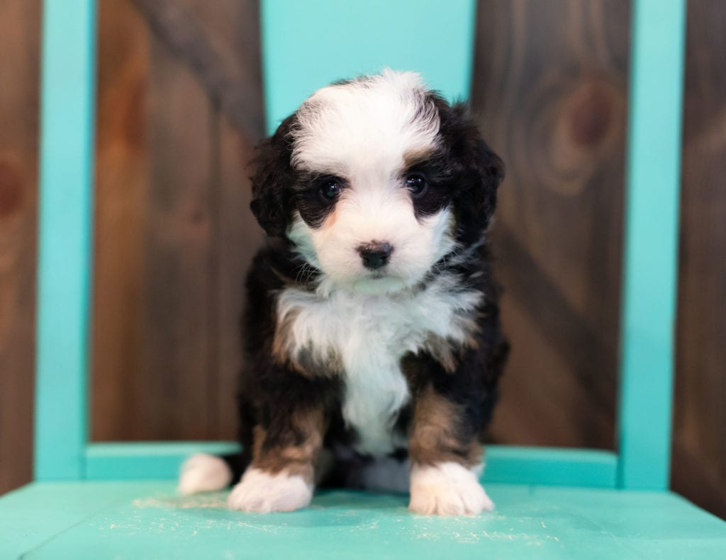 A picture of a Qudira, one of our Mini Bernedoodles puppies