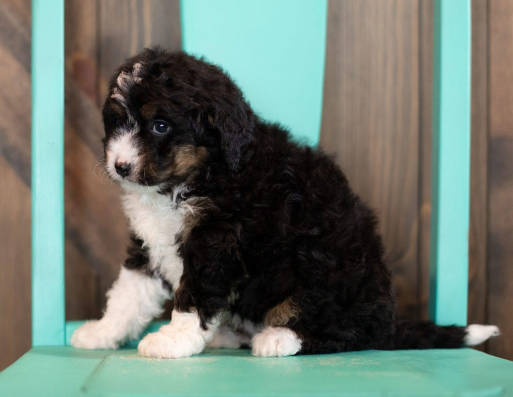 "Sadie is an F1 Bernedoodle that will be hypoallergenic. Read more about what a dog being hypoallergenic means on our latest blog post, ""The New Breed Everyone Seems to Want"""