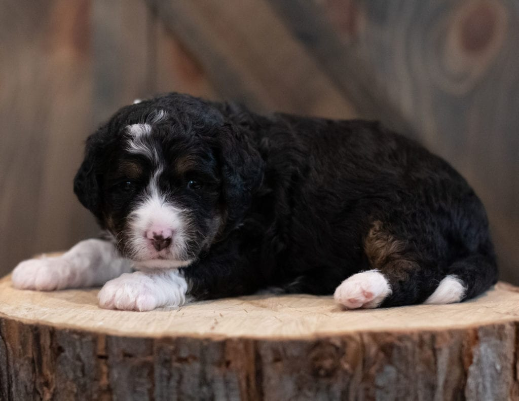 """Sadie is an F1 Bernedoodle that will be hypoallergenic. Read more about what a dog being hypoallergenic means on our latest blog post, """"The New Breed Everyone Seems to Want"""""""