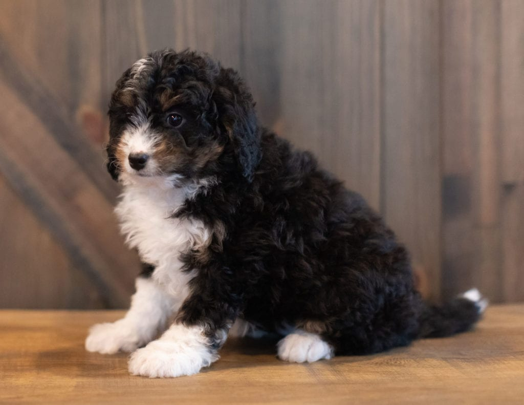 Sadie is an F1 Bernedoodle that should have  and is currently living in Texas
