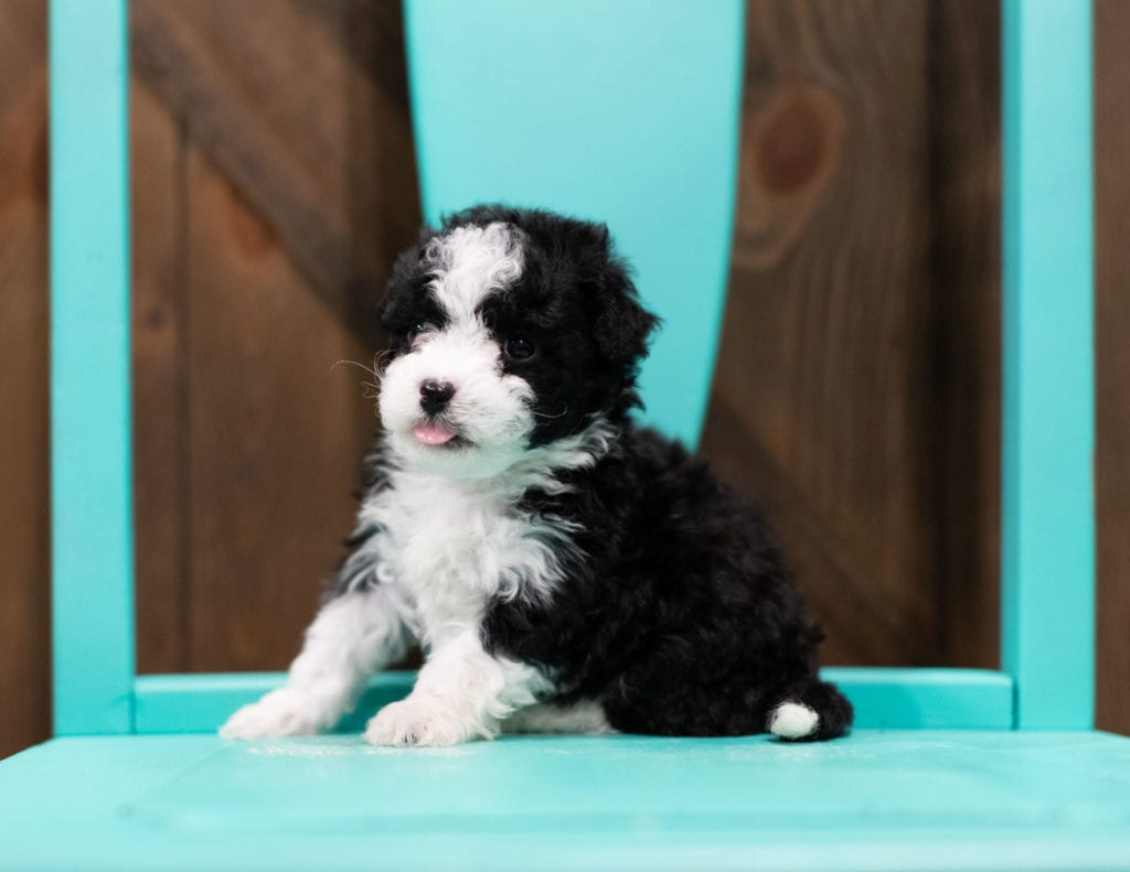 A picture of a Reba, one of our Petite Sheepadoodles puppies