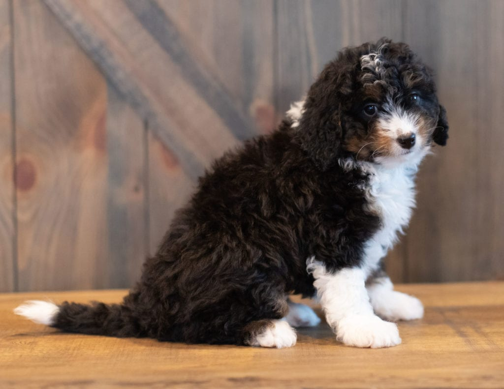 Sadie came from Tori and Stanley's litter of F1 Bernedoodles
