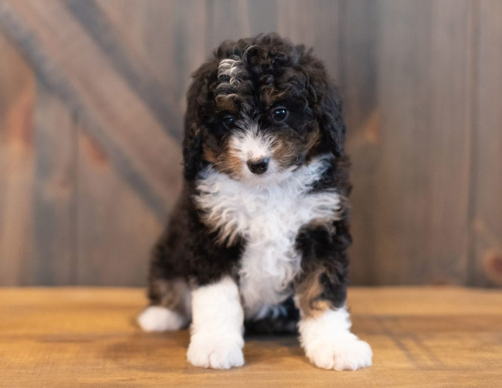 Our cute Mini Bernedoodles available for sale!
