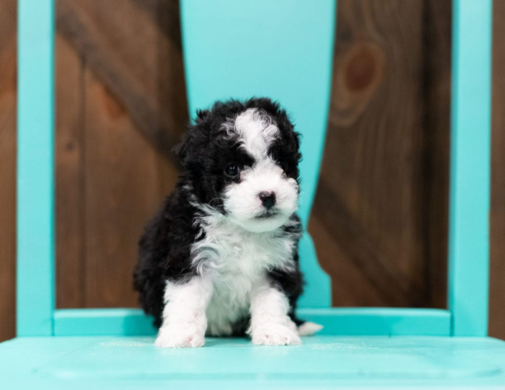 "Reba is an F1B Sheepadoodle that will be hypoallergenic. Read more about what a dog being hypoallergenic means on our latest blog post, ""The New Breed Everyone Seems to Want"""