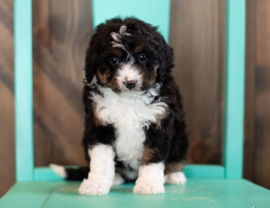 A picture of a Sadie, one of our Mini Bernedoodles puppies