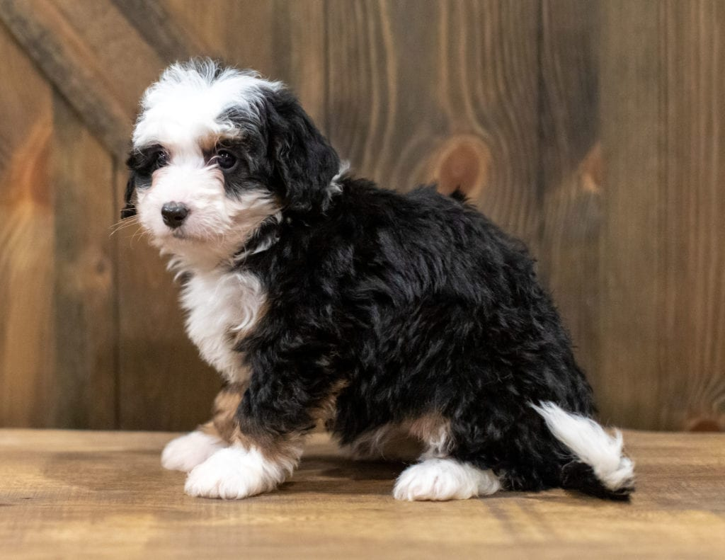 Qudira is an F1 Bernedoodle that should have  and is currently living in Iowa