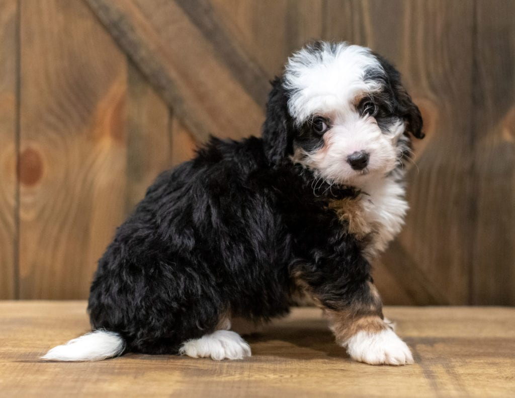 A picture of a Qudira, one of our Mini Bernedoodles puppies that went to their home in Iowa