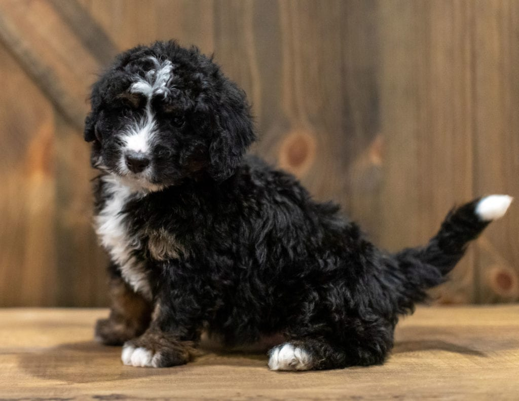 A picture of a Quade, one of our Mini Bernedoodles puppies that went to their home in South Dakota