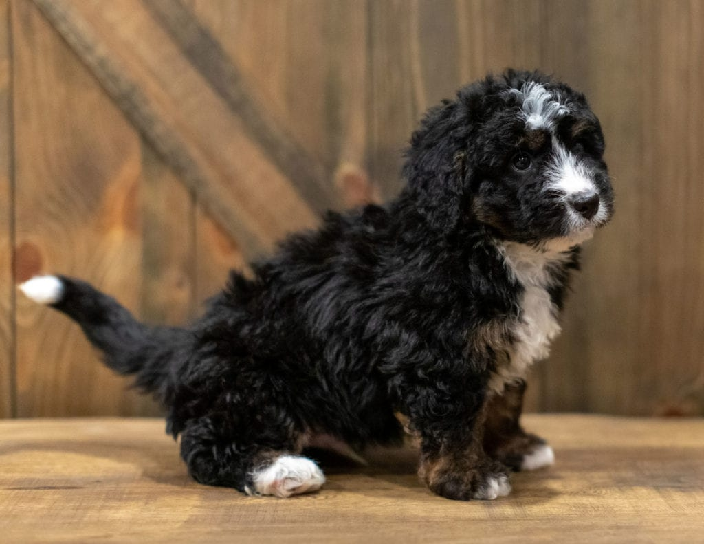 Quade is an F1 Bernedoodle that should have  and is currently living in South Dakota