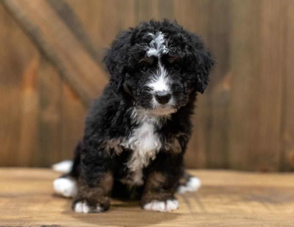 Quade came from Willow and Grimm's litter of F1 Bernedoodles
