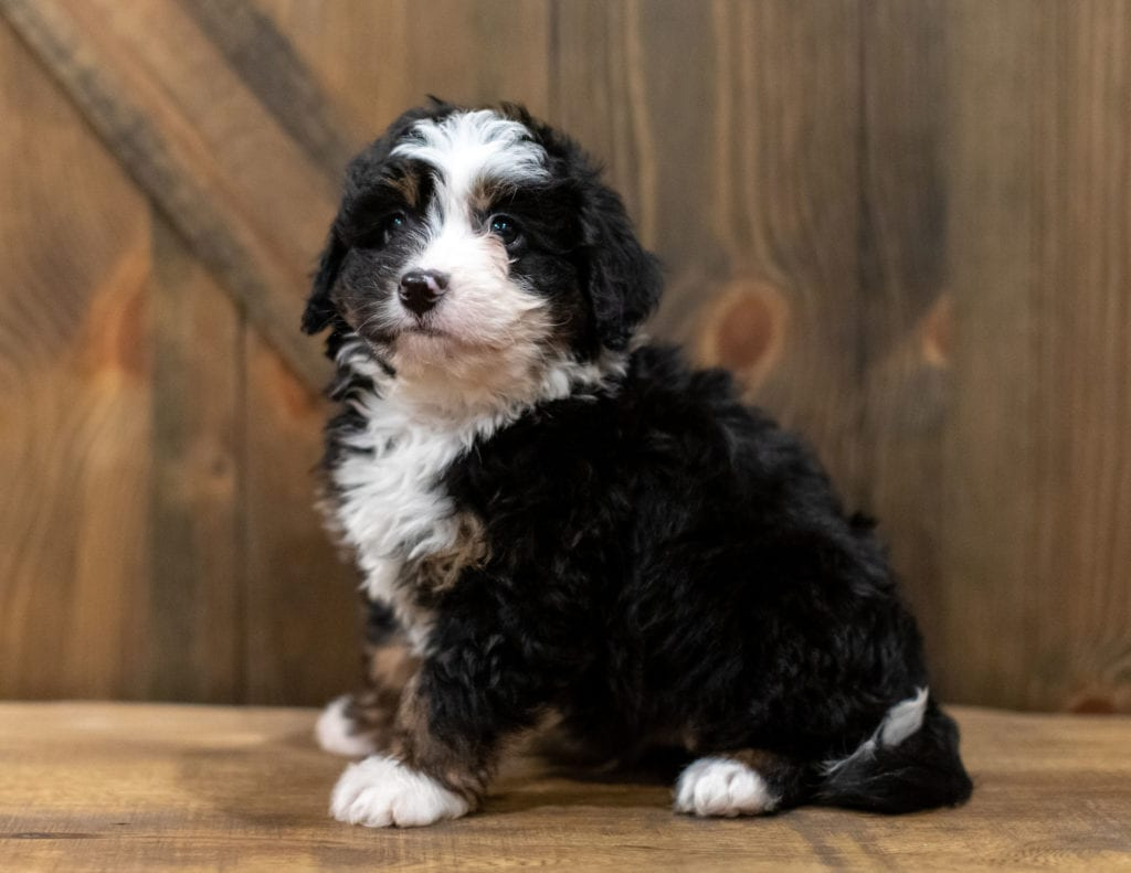 A picture of a Quaker, one of our Mini Bernedoodles puppies that went to their home in Kansas