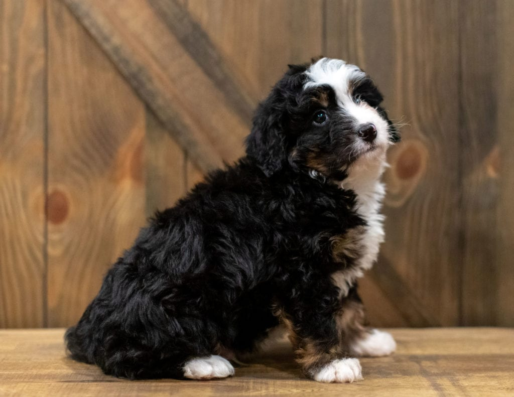 Quaker is an F1 Bernedoodle that should have  and is currently living in Kansas