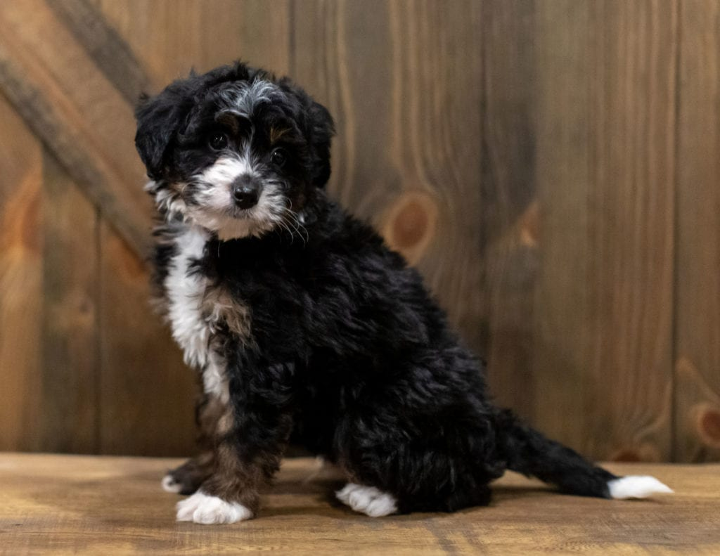 Quigley is an F1 Bernedoodle that should have  and is currently living in Alabama