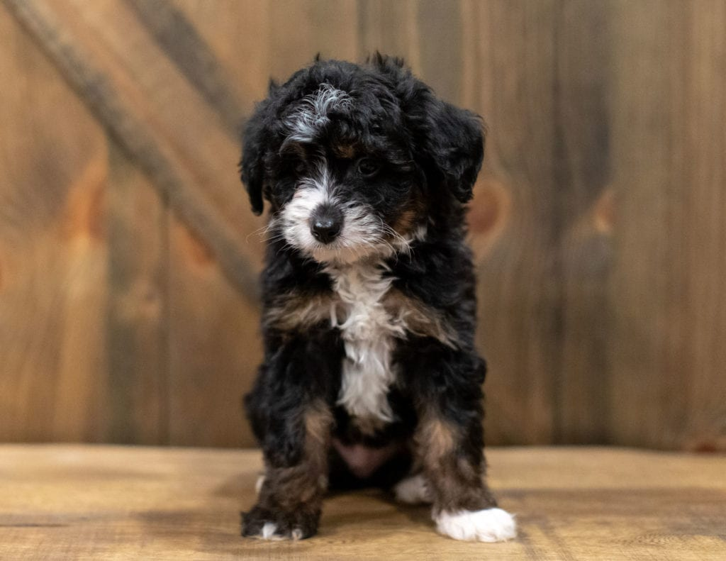 A picture of a Quigley, one of our Mini Bernedoodles puppies that went to their home in Alabama